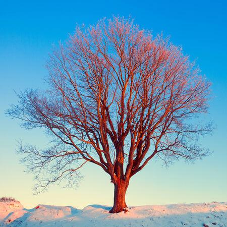 dawning: Single winter tree in pink morning sunshine light