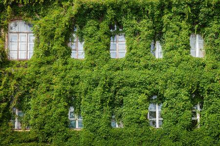 windows on home wall covered with ivy leaves