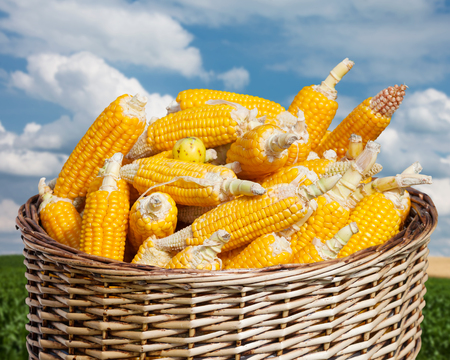 ripe corn in basket on blue sky and agricultural field photo