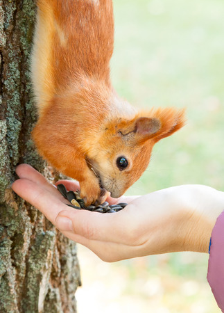 Wild red european squirrel eating from hand photo