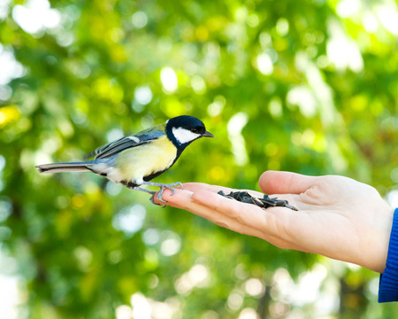 Bird sits on human hand. People feed the tit. photo