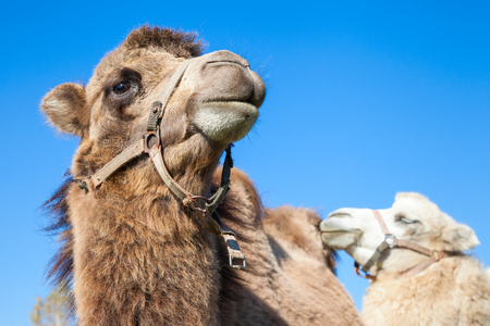 africa kiss: couple of cute dromedary camels