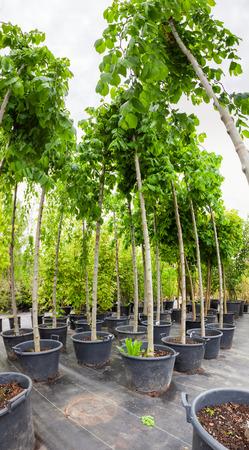 école maternelle: Les jeunes arbres de noix dans des pots en plastique sur pépinière d'arbres Banque d'images