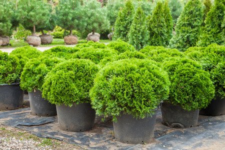 Cypresses plants in pots on tree farm Stock Photo