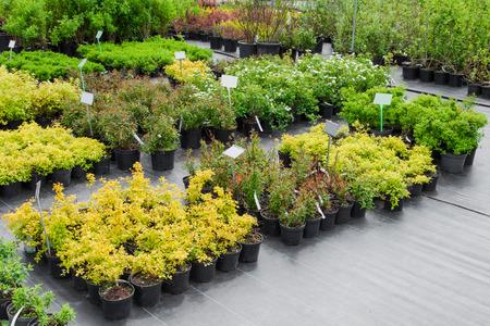 Spirea planten in potten op verkoop Stockfoto