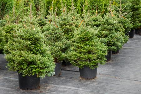 Weihnachtsbäume in Töpfen zum Verkauf Standard-Bild