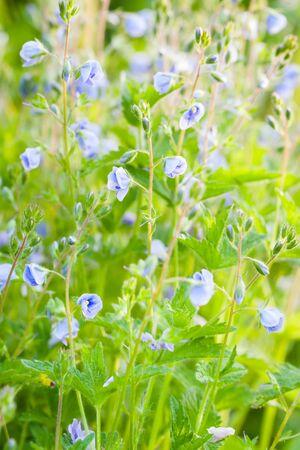 medicina natural: Flores azules Veronica, macro, enfoque selectivo. Medicina herbaria. Foto de archivo