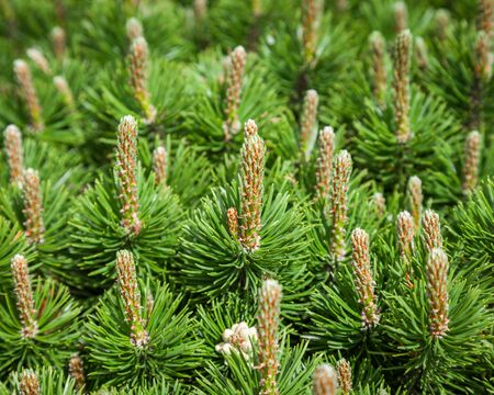 pinecones: Pine and pinecones close up