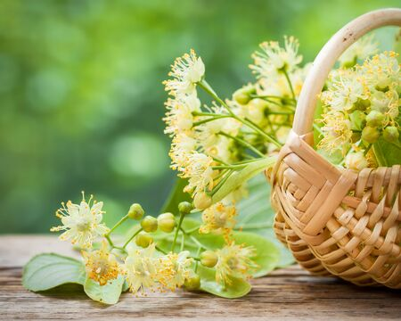 basswood: Wicker basket with lime flowers, herbal medicine. Stock Photo