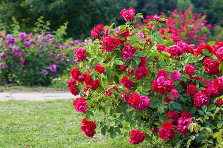 Roses bush on garden landscape