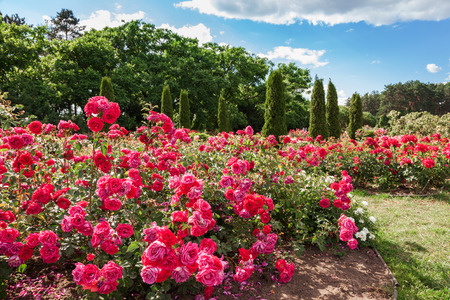 red flower: Roses bed on garden landscape