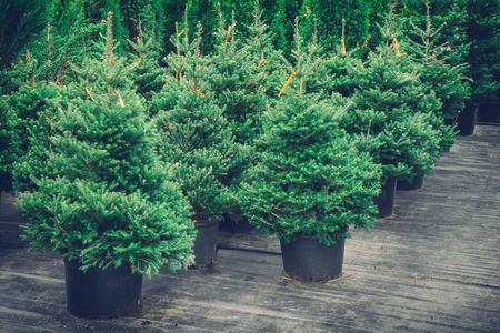 Weihnachtsbäume in Töpfen zu verkaufen. Retro getönten Foto. Standard-Bild - 67681067