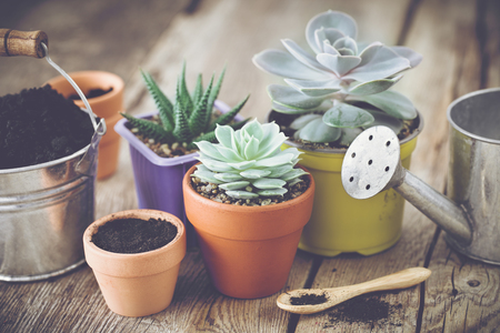 Succulents in pots, bucket with soil and watering can. Planting and care of house plants and flowers.