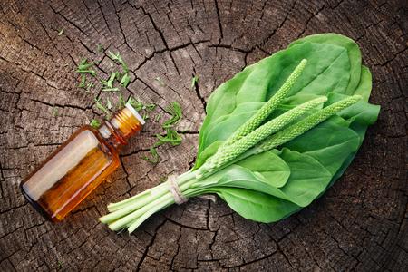 질경이 주입 또는 팅크 및 Plantago 주요 나뭇잎의 병. 평면도. 동종 요법 및 한약.