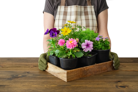 Woman gardener holds a wooden tray with several flower pots. Isolated on white. Stock Photo