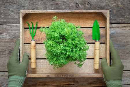 The hands of a gardener in gloves hold a box with a stonecrop garden flower in a flower pot, shovel and rake. Top view.