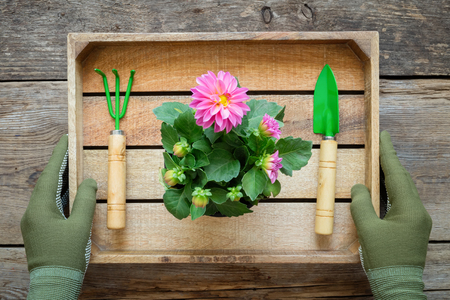 The hands of a gardener in gloves hold a box with a Dahlia garden flower in a flower pot, shovel and rake. Top view.