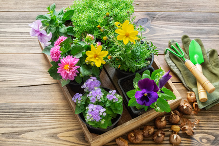 Seedlings of garden plants, flowerpots of flowers, bulbs of flowers. Stock Photo