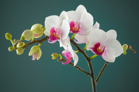 Branch of white orchid flower Stock Photo