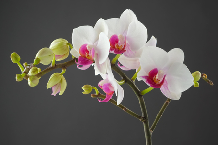 Branch of white orchid flower on gray