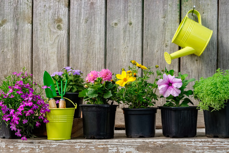 Seedlings of garden plants and beautiful flowers in flowerpots for planting on a flower bed. Hanging watering can on old wooden wall of garden shed. Copy space for text.