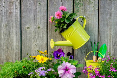 Seedlings of garden plants and flowers for planting on a flowerbed. Hanging watering can with pink Dahlia flower on old wooden wall of garden shed. Copy space for text.