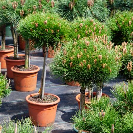 Small pine trees in plastic pots on tree nursery farm. Stock Photo - 120977727