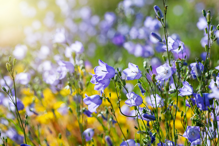 Blue campanula flowers on summer meadow or flowerbed. Stock Photo