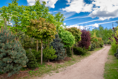 Young maples, pine and chestnut trees. Alley of seedling of trees, bushes, plants at plant nursery.