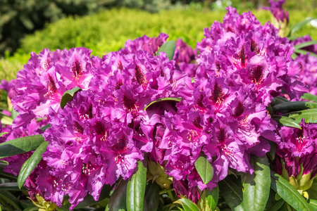 Rhododendron flowers in garden at spring.