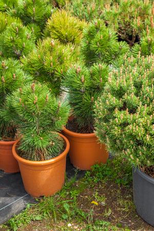 Several plastic pots of beautiful pine trees on tree nursery farm.