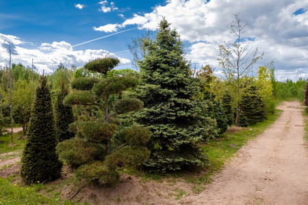 Young pine and fir trees. Alley of seedling of trees, bushes, plants in plant nursery. Stock Photo