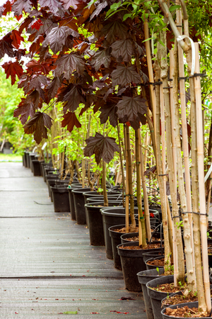 Row of young maple trees in plastic pots. Alley of seedling trees in plant nursery at spring. Selective focus.