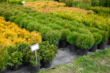 Thuja and cypresses plants in pots for sale on tree farm.