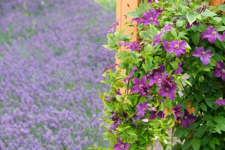 Beautiful purple clematis flowers in foreground and lavender 版權商用圖片