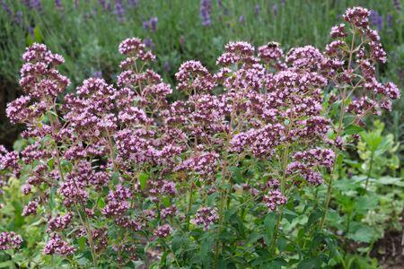 Oregano herbs. Marjoram flowers and lavender 版權商用圖片
