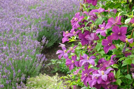 Beautiful clematis flowers in foreground and lavender