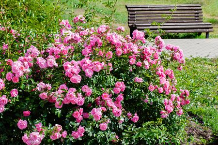 Pink roses bush and garden bench.
