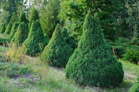 Decorative Juniper bushes alley in summer park. 版權商用圖片