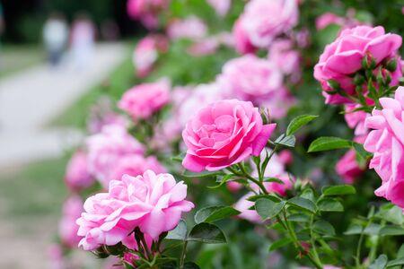 Pink roses bush and walking path