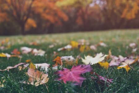 Colorful fallen maple leaves on green grass in beautiful fall park. Trees with bright yellow and orange foliage on background not in focus. Autumn landscape.