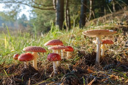 Group of red fly agaric mushrooms in the autumn forest. Amanita muscaria mushrooms in sunlight.