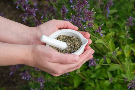 Woman holds in her hands a mortar of medicinal herbs Anise Hyssop or blue giant hyssop. Blossoming Agastache foeniculum flowers on background.