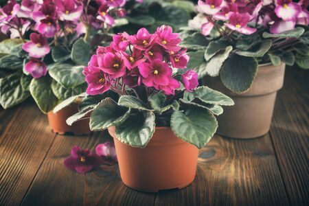 Potted Saintpaulia violet flowers. Planting potted flowers in rays of sunlight on wooden board.