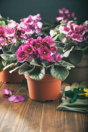 Potted Saintpaulia violet flowers. Planting potted flowers on wooden board.