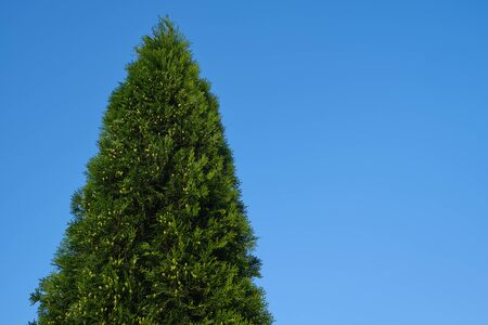 High Juniper tree on blue sky backgroud.