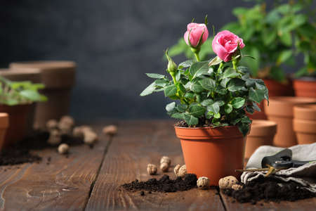 Pink rose in a pot, flower pots, soil, expanded clay, garden pruner on background.