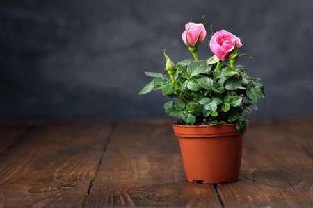 Pink rose in a pot on wooden table. Copy space for text. Фото со стока