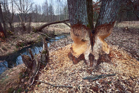 The beaver teeth marks on a tree trunk, tree gnawed by the beaver on the river bank.