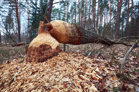 Fallen tree with beaver teeth marks. Tree trunk nibbled by beavers on the river bank in forest. Фото со стока